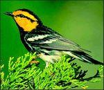 Golden cheeked warbler (2)