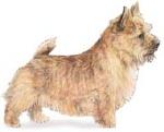Norwich terrier (2)