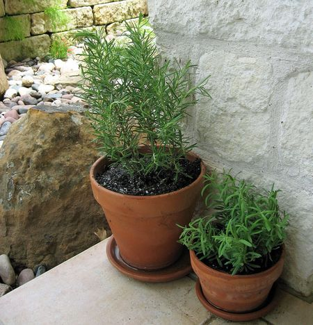 Rosemary and lavender3