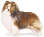 Shetland sheepdog_sheltie (2)