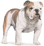Bulldog (2)