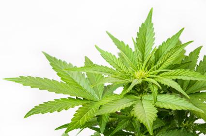 Marijuana plant photo by Yarygin via iStock