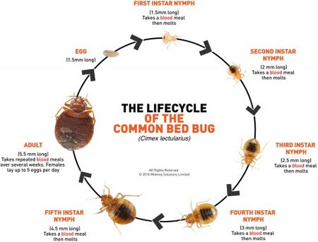 Bed-Bug-lifecycle-500x381_MidMosSolutions