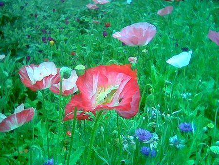 Poppies Austin garden show May 2010