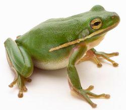 Frog-1-facing right