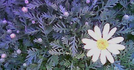 Chrysanthemums (2)