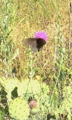 Black butterfly JPH 042212 (2)