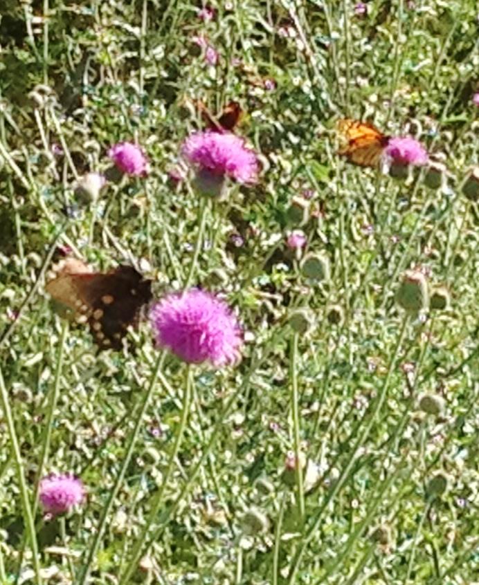 Three butterflies on thistle JPH 042212