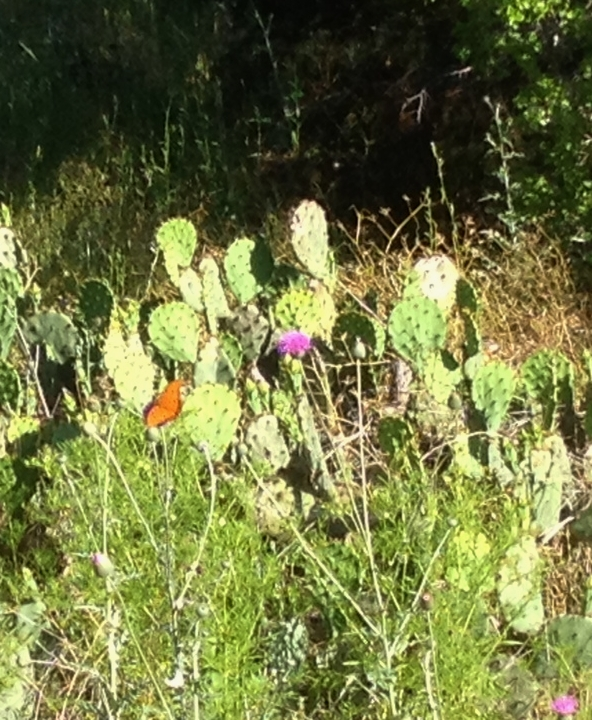 Butterfly cactus and thistle JPH 042212 (2)