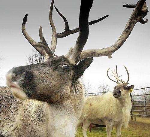 Reindeer via pointcounterpointpointpoint