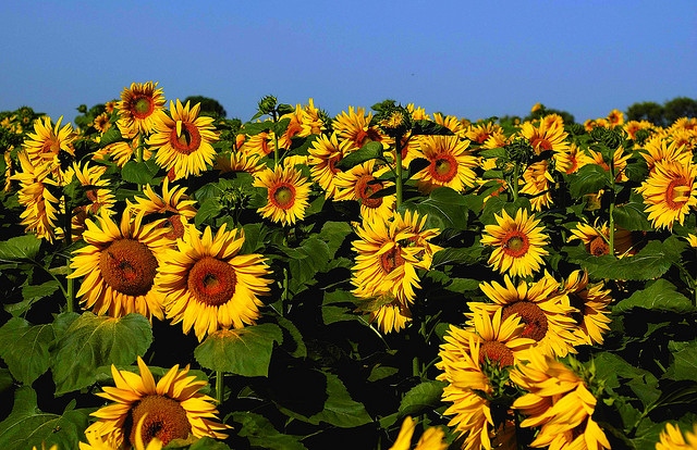 Sunflowers by pasma via Flickr CC