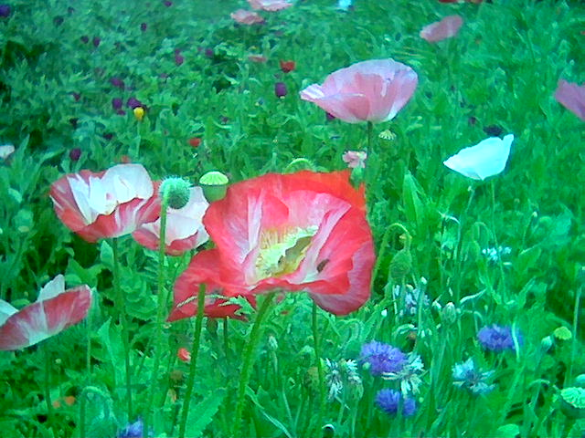 Texas garden poppies by S Kay Bell