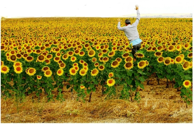 Spanish sunflowers from national tourism office brochure