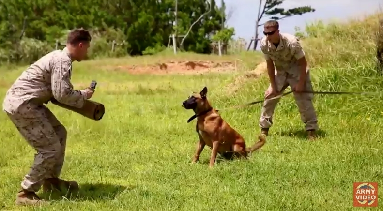 US Army training Labrador Retrievers  Malinois and German Shepherds