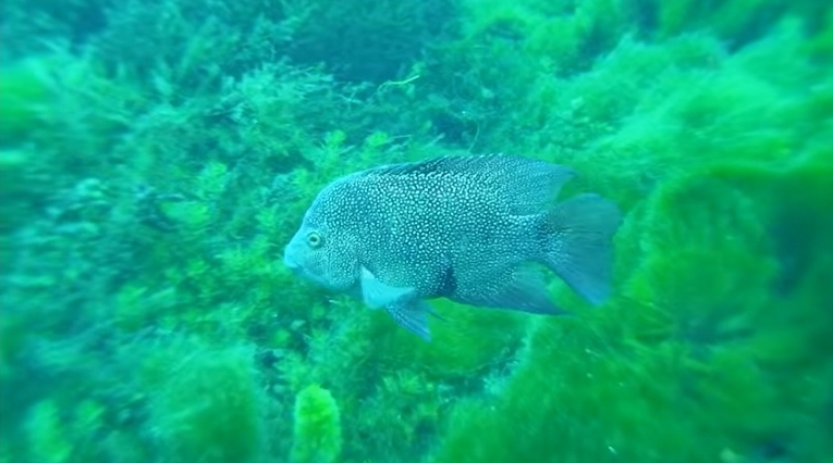Fish spotted from glass-bottomed boat ride at San Marcos Aquarena Springs