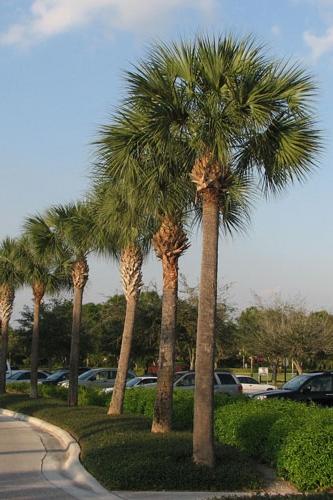 Sabal-Palm_South-Carolina state nickname