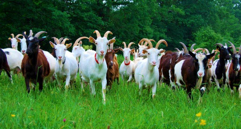 Goat herd_Columbia County NY Economic Development Corp