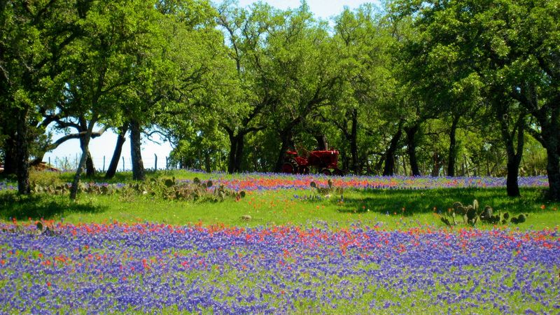 Bluebonnets etc tractor closeup Willow City Texas Loop 040416