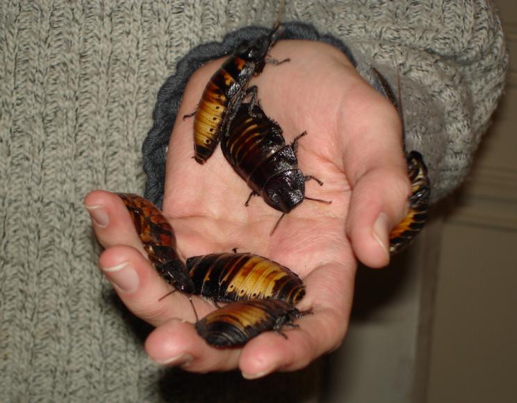 Madagascar hissing cockroaches_Totodu74 via Wikipedia Commons
