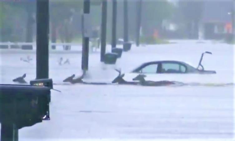 Deer cross Hurricane Florence flooded road in Jacksonville NC_NBC News via Twitter