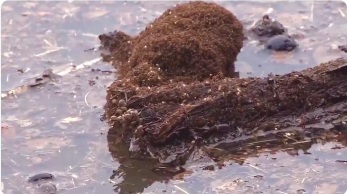 Fire ants floating on flood debris via KVUE Austin Texas Twitter
