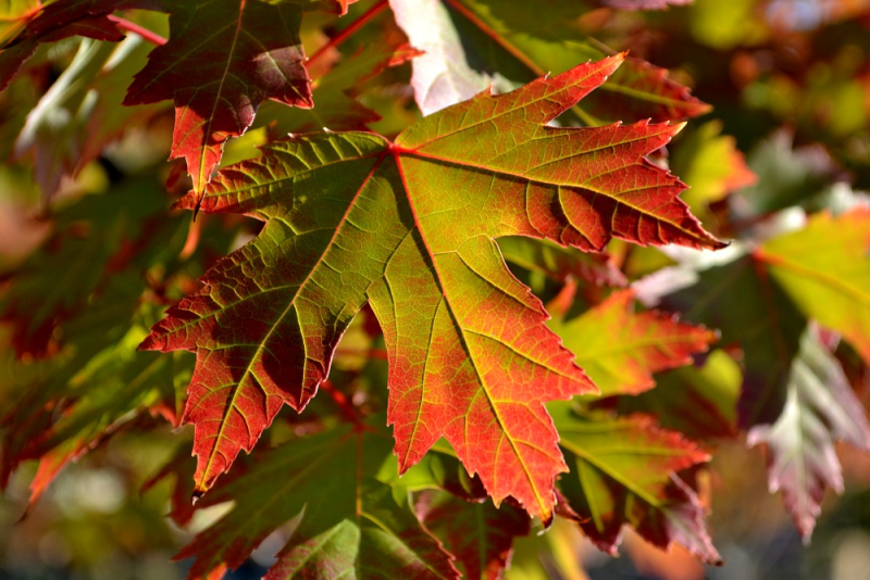 Autumn Leaves first color_Jonathan Bloy at bloynet