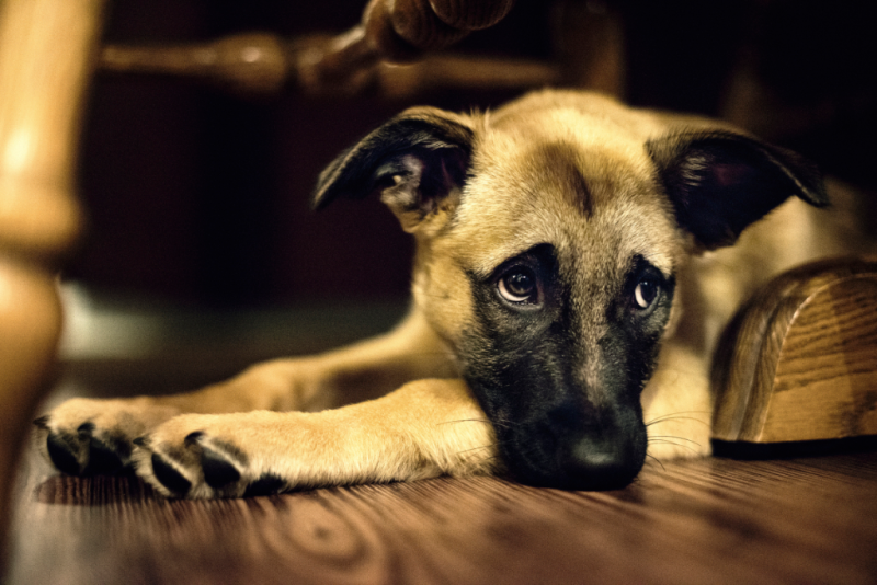 Ashamed dog_Ansel Edwards via Flickr CC