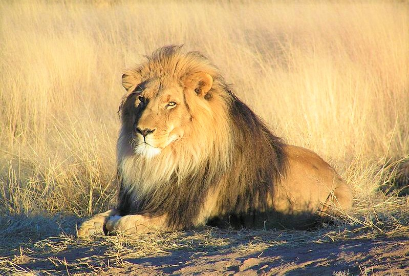 Lion_waiting_in_Namibia_Kevin-Pluck_Flickr