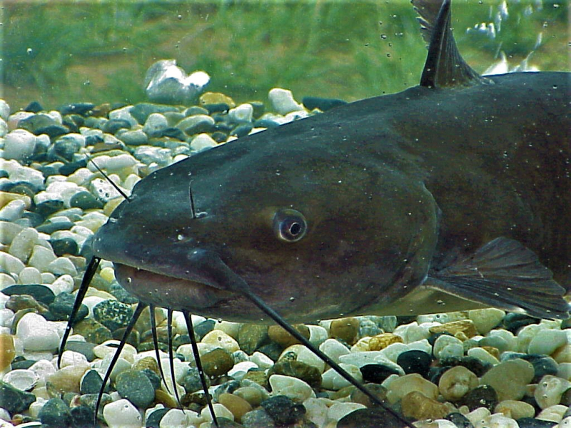 Channel catfish_US Army Corps of Engineers photo via Wikimedia Commons