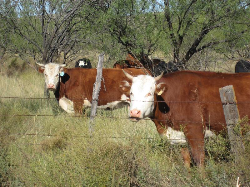 Marathon Texas cows are unimpressed