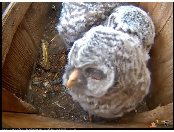 Owlets_Cornell Lab or Ornithology nest cam 2020 screenshot2