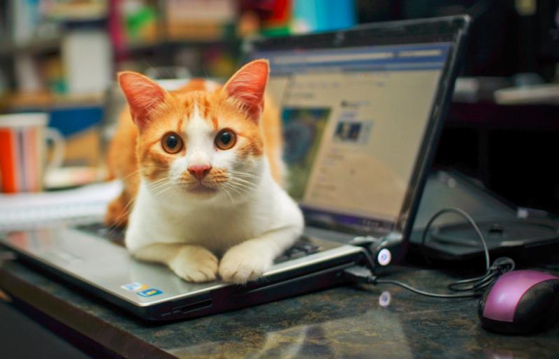 Cat on laptop_lisadragon via Flicker CC
