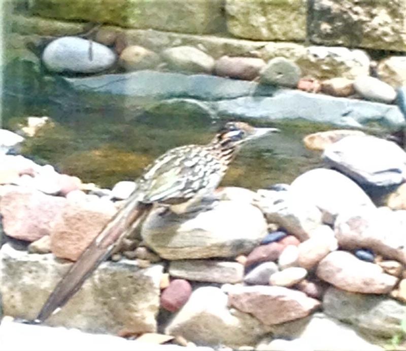 Roadrunner at backyard stream Aug102017