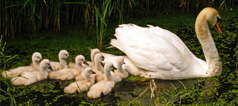 Swan_with_nine_cygnets_3_S-Sepp_Wikipedia-Commons