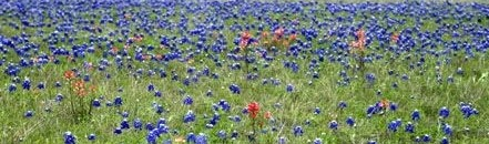 Bluebonnets and more page divider