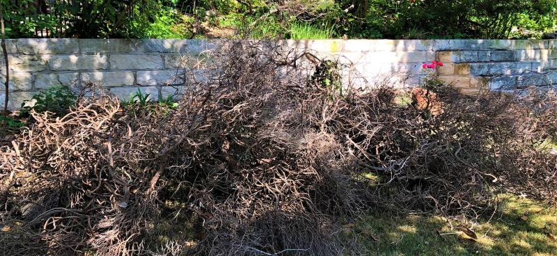 Rosemary debris 2021-04-21-cropped