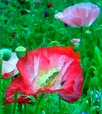 Texas garden poppies photo by Kay Bell