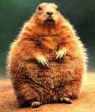 Fat Groundhog; click image for Groundhog Day details