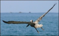 Pelican_in_flight_2