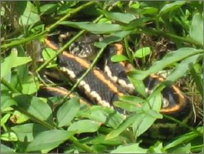 Backyard_snake_032707_3