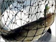 Fish_in_a_net_2