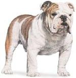 Bulldog_2