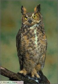 Great_horned_owl_hopiak