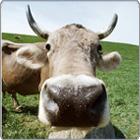 Cow_closeup