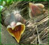 Baby_bird_needworms_2