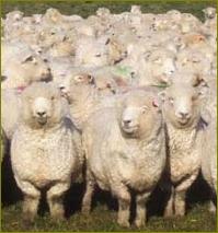 Sheep_herd_3
