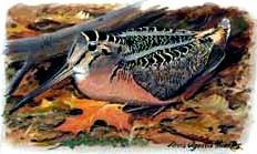 Woodcock3_2
