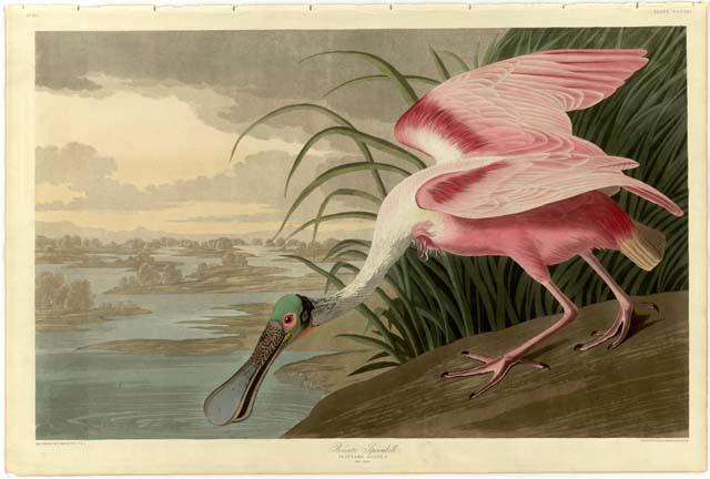 Audubon's roseate spoonbill